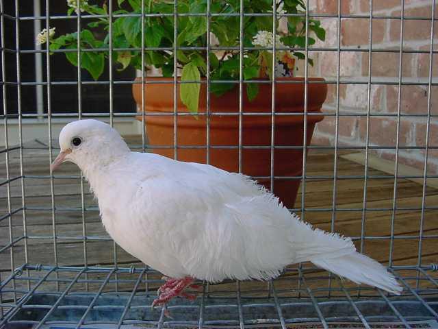 Doves For Sale >> Dovepage Com Buy A Dove