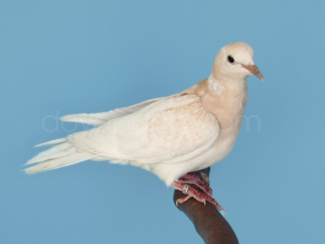 Dovepage Com Ringneck Dove Colors